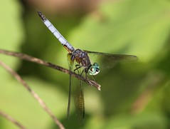 Blue Dasher (Pachydiplax longipennis) Male (Rezamink) Tags: usa dragonflies odonata bluedasher pachydiplaxlongipennis