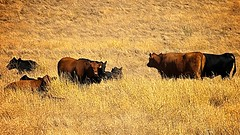 Grazing in the Afternoon No.2 (Charlie Day DaytimeStudios) Tags: california ca cattle hill hills hillside sunol sunolca