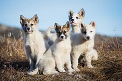 Greenland Sled Puppies (Peter Voigt) Tags: dog dogs puppy puppies arctic hund greenland pup polar hunde sleddog sleddogs grønland hvalpe whelp ilulissat gronland hvalp jakobshavn westgreenland whelps slædehunde vestgronland vestgrønland puppyslædehund