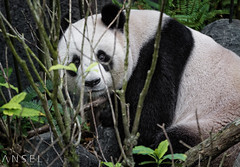 Jia Jia (draken413o) Tags: china travel cute river giant zoo furry singapore asia panda wildlife shy bamboo safari telephoto captive destinations dweller jiajia