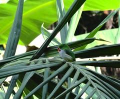 San Pedrito (Todus portoricensis) (Jardin Boricua) Tags: puertorico ave pajaro endemic pjaro caguas sanpedrito endemico todusportoricensis taxonomy:binomial=todusportoricensis