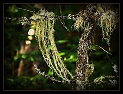 Usnea~ A lichen (clickclique) Tags: tree green moss delicate lightgreen oldmansbeard usnea dragongoldaward