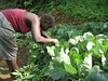 Aminita Sesey looks for insect pest cabbage (CABI - Communications) Tags: africa plant insect for marketing general looks clinic pest gpc aminita sesey plantwise aminitaseseylooksforinsectpestcabbagejpg cabbagejpg gpcafrica plantclinicafrica project5661 projectthumb5661