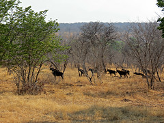 Sable antelope (Linda DV) Tags: africa travel nature canon river geotagged botswana bovidae chobe zambezi cuando southernafrica sableantelope 2013 hippotragusniger kwando geomapped lindadevolder powershotsx40