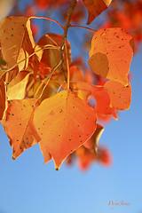 Invasive Orange (wyojones) Tags: trees color tree fall toxic leaves forest woods texas autum houston invader np treeline deciduoustrees invasivespecies nonnativespecies triadicasebifera wyojones cinesetallow