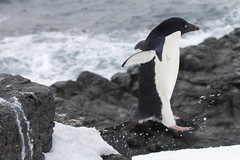 Antarctica - Day Two0233 (GLRPhotography) Tags: penguin antarctica adelie 100400 gourdin