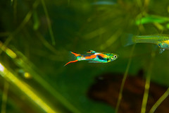 Fish-7182 (Line123a) Tags: male display guppy livebearer endlers poeciliaendlers