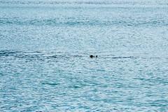 _MG_3867a (markbyzewski) Tags: alaska ugly seaotter glacierbaynationalpark