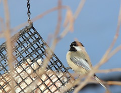 Chickadee (Jeanne W Pics) Tags: statepark bird minnesota canon midwest chickadee fortsnellingstatepark canonrebelt3i