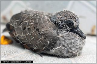 Columbina talpacoti - Ruddy Ground-Dove