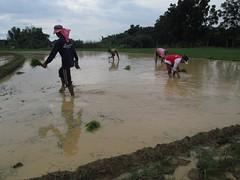 rice planting (cbe-sep) Tags: rice ricefield palay riceplanting palayan
