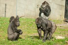 2014-02-23-12h58m52.272P1412 (A.J. Haverkamp) Tags: zoo gorilla arnhem thenetherlands burgerszoo dierentuin madiba westernlowlandgorilla shaila westelijkelaaglandgorilla canonef70200mmf28lisusmlens makoua httpwwwburgerszoonl bauwi dob19071990 pobapeldoornthenetherlands pobberlingermany dob11062004 pobarnhemthenetherlands dob25122006 dob24102013