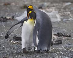 King Penguins on Macquarie Island. (richard.mcmanus.) Tags: penguins australia antarctica tasmania macquarie antarctic courting mcmanus kingpenguins subantarcticislands