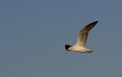 flying tern ([s e l v i n]) Tags: india bird birds flying bombay mumbai tern birdphotography bhandup selvin flyingtern bhanduppumpstation