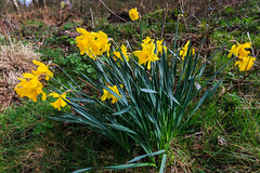 Daffodils in High Bousdale Wood (Peter Whysall) Tags: england yellow canon unitedkingdom daffodils 1740 eos6d pinchinthorpe