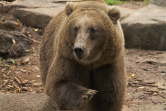 good bye my grizzly friend (ucumari photography) Tags: bear brown sc animal mammal zoo october south columbia carolina grizzly riverbanks 2013 specanimal ucumariphotography dsc6627