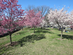 Pink and white cherry blossom trees in peak bloom during the Essex County Cherry Blossom Festival in Branch Book Park, of Newark, New Jersey USA (RYANISLAND) Tags: park new pink flowers trees flower tree japan cherry outdoors japanese newjersey spring cherries blossom essexcounty blossoms nj jersey cherryblossom cherryblossoms newark essex springtime citypark yoshino cherrys floweringtree floweringtrees cherryblossomfestival colorpink newarknewjersey newarknj pinkcolor