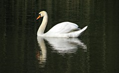 Swan on Dark Waters (Dave Roberts3) Tags: white reflection bird water wales reflecting swan newport gwent muteswan supershot citrit naturethroughthelens sunrays5