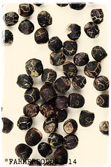 Gymnocalycium gibbosum var. nigrum P97 (farmer dodds) Tags: cactus cactaceae mescaline gymnocalycium gymnocalyciumgibbosum gymnocalyciumgibbosumvarnigrump97