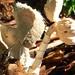 dragon head fungi