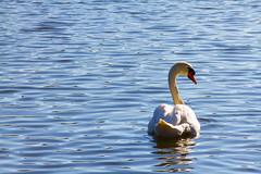 Roath Park 9th Feb 2015 337 (jasondunn2014) Tags: blue white lake bird water beautiful birds proud canon swan royal waterbird 7d graceful