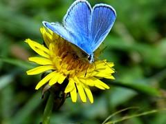 Blue Butterfly Синя пеперуда