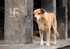Dog (orocoshots) Tags: voyage street travel viaje nepal portrait people dog pet color colors canon photography eos photo asia viatge popular markii eosmarkii