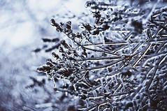 freezing rain (Tanya Enotka) Tags: winter ice nature freezingrain helios helios402 природа зима лед ветки гелиос гелиос402 ледянойдождь