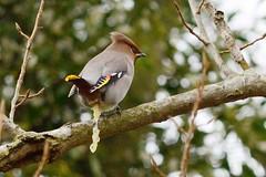 HNS_2880 Pestvogel (Bombycilla garrulus)