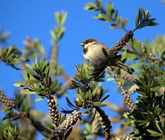 Curious Sparrow