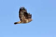 Buzzard (Somerset Chris) Tags: birds canon buzzard birdofprey wwt bif