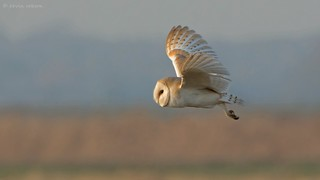 Barn Owl (series - more shots in the comments below)