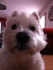 after a little nap... (eigi11) Tags: dog white west westie terrier highland