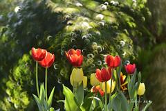 Tulips (Jennifer ) Tags: flower macro zeiss tulips taiwan 100mm    makroplanar happyvalentinesday zf2 carlzeissmakroplanarmacro100mmf2zf2 nikond4s