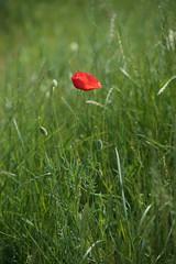 poppy (pasiak75) Tags: flower colour kwiat kolor 2016 czerwony makpolny