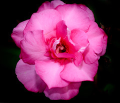 Magnificent Beauty (jhambright52) Tags: macroflowers pinkmacroflower