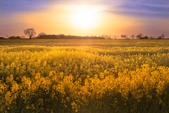 'Blessed Canola' (Jonathan Casey) Tags: zeiss nikon 55mm canola rapeseed otus d810