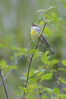 Brewster's Warbler (Blue-winged Warbler x Golden-winged Warbler hybrid), Sterling Forest, New York