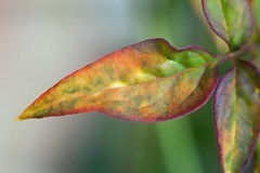 Honeysuckle leaf - Explored no.44 on 17/05/16 Thanks! (jimj0will) Tags: macro leaves closeup tubes mm macromonday takumarleaf