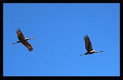 Grues du Canada, Sandhill Cranes (francepar95) Tags: ontario birds flying couple leamington marsh marais oiseaux sandhillcranes envol pointepele gruesducanada