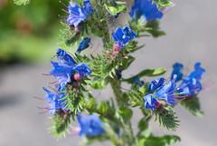 Delicate blue flowers (quinet) Tags: flowers fleurs germany blumen 2012 kulmbach castleroad burgenstrase