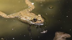 Taking a Bath (Fredrik Hjalmarsson) Tags: cute water animal swimming canon eos eyes outdoor mark wildlife frog ii 7d rhodos