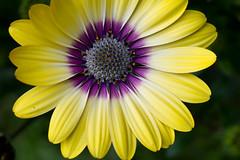 Summer's bursting open (Mukumbura) Tags: africandaisy capedaisy osteospermum flower yellow petals purple centre fan circle colourful vivid bright garden nature macro summer green