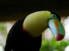 P1130574 (lychee_vanilla) Tags: bird animal garden toucan costarica lapaz tier waterfallgarden keelbilledtoucan ramphastossulfuratus tucn vigel tucnpicoiris