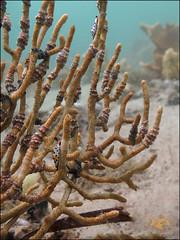 Platypus Egg Cowrie (Cuspivolva platysia) (Brian Mayes) Tags: canon underwater shell australia scuba diving pipeline nelsonbay 1711 g16 brianmayes alliedcowrie cuspivolvaplatysia canong16 platypuseggcowrie