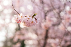 Hang your heart in lights above me (surfingstarfish) Tags: tree nature season spring focus blossom bokeh jahreszeit natur twig bloom cherryblossom sakura blte baum cherrytree hanami springtime frhling fokus kirschblte kirschbaum blhen zweig