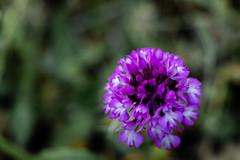 fausse-jacinthe (sgiworld) Tags: flowers naturaleza plant flower hoja fleur plante photo plantas natural flor extrieur fucsia calme jacinthe petalo brillant fausse bordure faussejacinthe