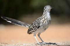 Road Runner (frdjohns) Tags: ranch wild bird nature us nikon texas wildlife south santaclara mccook avian conservancy