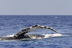 Water Wings (rschnaible) Tags: ocean life sea wild usa water animals hawaii us pacific outdoor wildlife maui tropical whale humpback tropics
