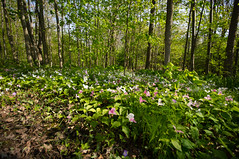 a walk in the woods (bonnie5378) Tags: flowers trillium ngc coth naturescarousel may2016